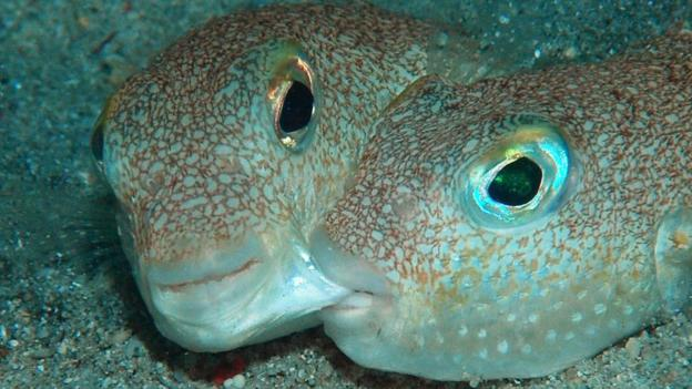 Bbc earth new pufferfish species named for Types of puffer fish