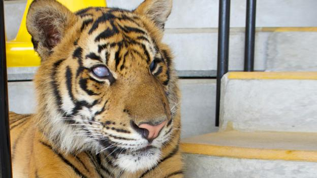 BBC - Earth - Blind tiger shows true grit