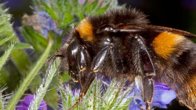 071152fe1202 BBC - Earth - Flight of the queen bumblebee