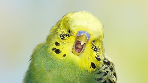 bbc earth when one budgie yawns other budgies yawn too