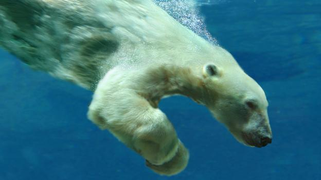 Polar Bear Breaks Diving Record