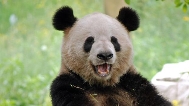 bbc earth why human beings are just like giant pandas Opossum Body Diagram why human beings are just like giant pandas