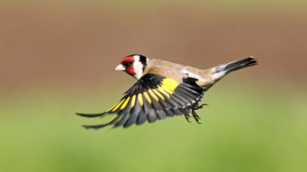 bbc earth the mysterious rise in garden goldfinches