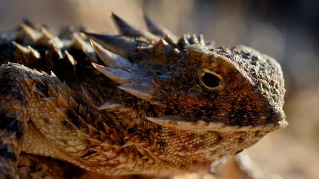 If It Has To A Horned Lizard Can Shoot Blood From Its Eyes