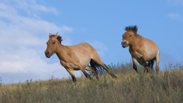 Bbc Earth The World S Last Truly Wild Horse Is Making