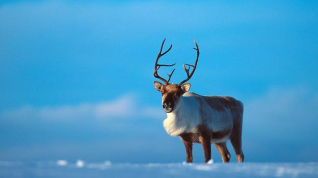 Bbc Earth Why Reindeer Noses Are More Amazing Than You