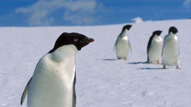 f96feb2a0d2 BBC - Earth - If you think penguins are cute and cuddly