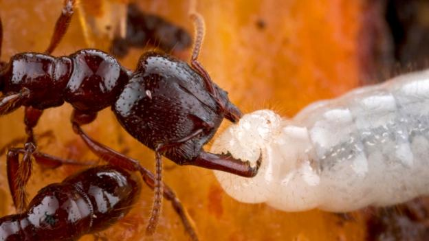 BBC - Earth - Baby Ants Have A Host Of Unexpected Superpowers
