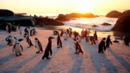 African penguins (S. demersus) (Credit: Images of Africa Photobank/Alamy Stock Photo)