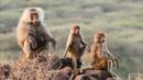 Baboon troops clash