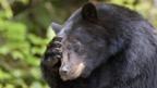 Black bears show counting skills