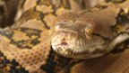 File photo - Close up of a Reticulated Python head