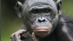 Bonobo males are more introverted than females (Credit: Anup Shah/Naturepl.com)