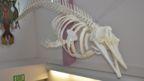A skeleton of the new species in Alaska