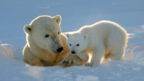 Polar bear and cub (Credit: Nature Picture Library/Alamy)