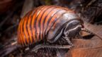 Pill millipede (Glomeridae) (Credit: Alex Hyde/naturepl.com)