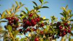 Saskatchewan, prairie cherry