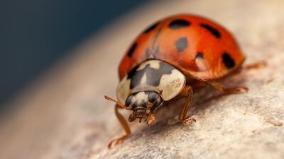 Close-up photograph of a Harlequin ladybird