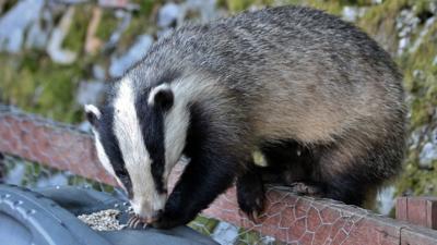 A badger climbing over a fence into a garden