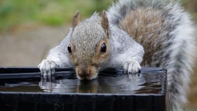 A grey squirrel drinking water out of a bird bath