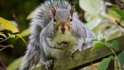 A grey squirrel standing on a fence with a hand full of nuts