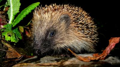 Close up of a hedgehog in a garden at night