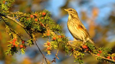 A redwing bird on a tree branch in golden autumn sunlight