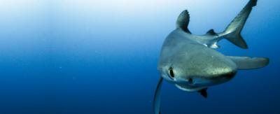 A blue shark swimming in the ocean.
