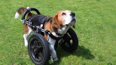 Blue Peter - Henry's Beagle/Basset hound talent show