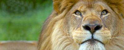 A lion looking down the camera lens.