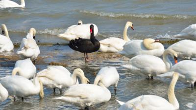 one black swan among many white