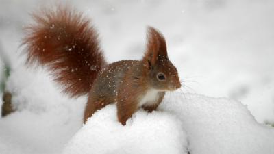 Newsround - Quiz: Red v grey squirrels