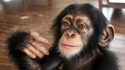 Nature on CBBC - Which baby chimp are you?