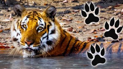 Nature on CBBC - Nine times big cats were purrrr-fect