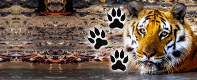 A tiger sitting in shallow water with cartoon pawprints to the side of the photo.