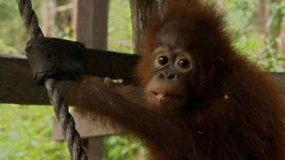 Blow Your Mind - Looking after baby orangutans