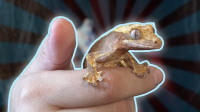 Blue Peter - Check out these crested geckos!