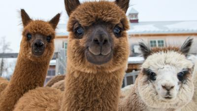 Blue Peter - Do you know your alpacas?