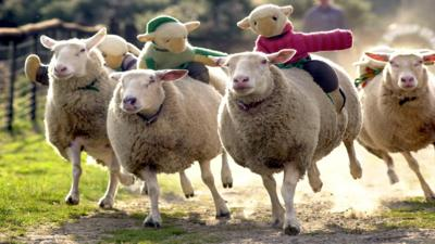 Four sheep racing with knitted characters riding on their backs
