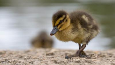 Blue Peter - What type of duckling are you?