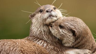 Blue Peter - How much do you have in common with an otter?
