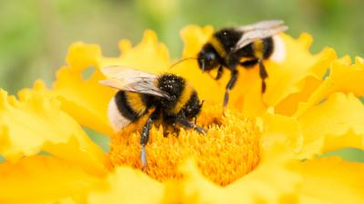 "Blue Peter - Quiz: Could you ""bee"" a bumblebee?"
