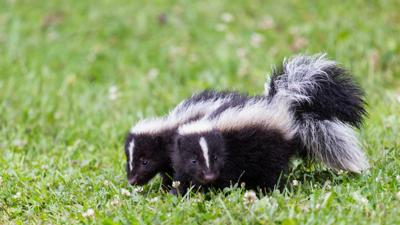 Blue Peter - Quiz: Which skunk are you?