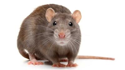 Blue Peter - Do you know your rat facts?