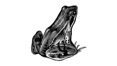An illustrated frog in black and white.