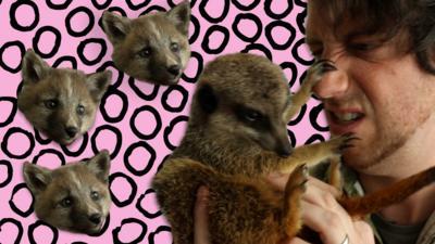 Blue Peter - Meet cute fox cub and mad for it meerkats