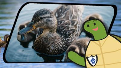 Blue Peter - Shelley's Shenanigans: Ducks