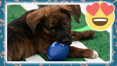 dog chewing american football toy.