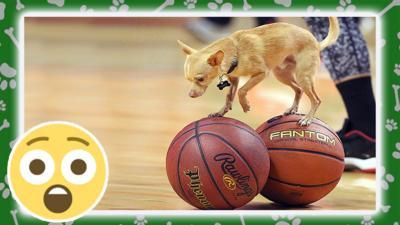 dog balancing on two basketballs.