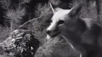 Autumnwatch on CBBC - Two foxes meet by moonlight